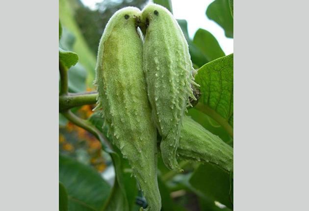 legumă asemănătoare penisului este posibil să se trateze penisul cu peroxid