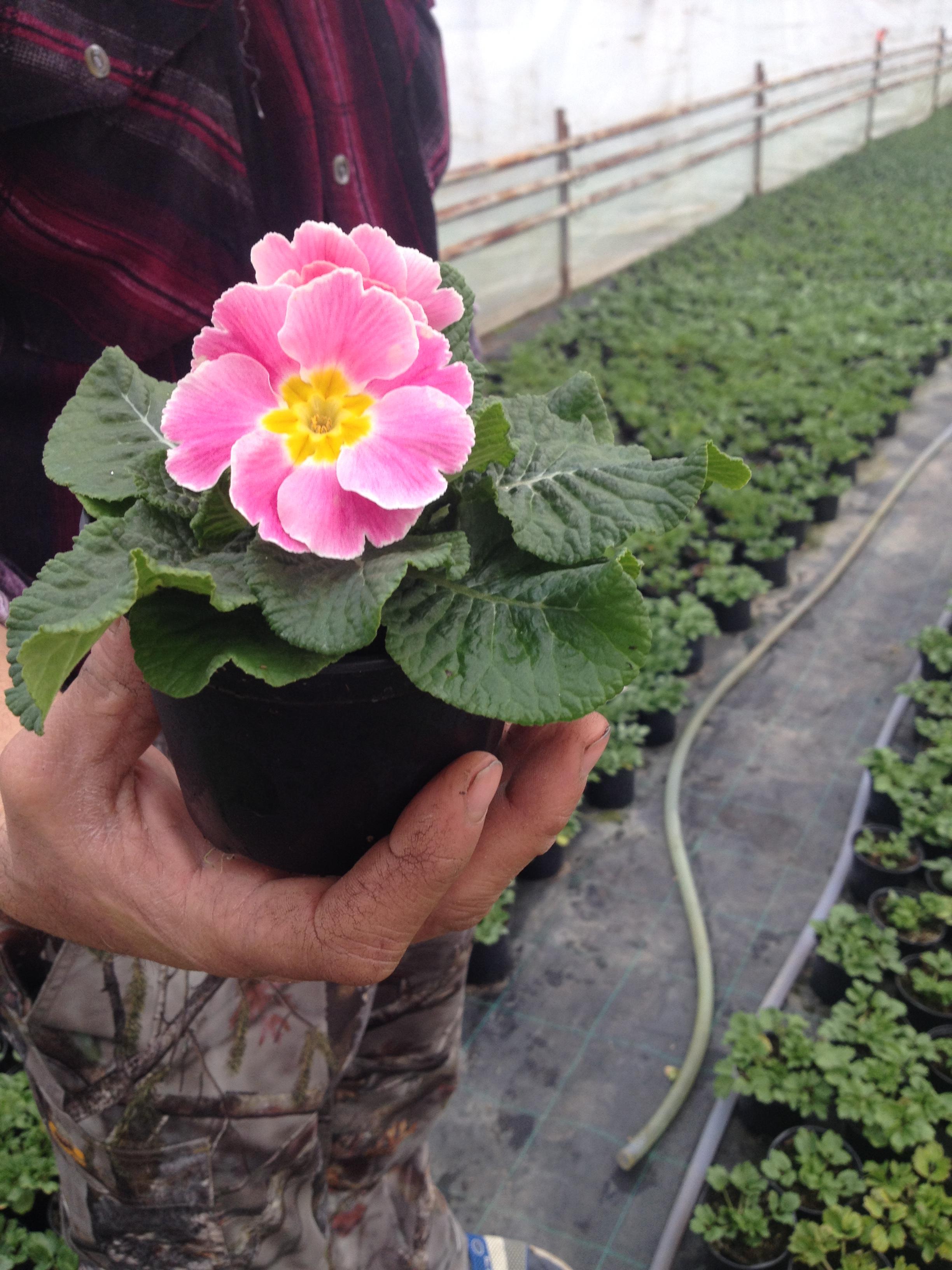 Vine Vine Primăvara In Serele Floricultorului Dan Mihăilescu